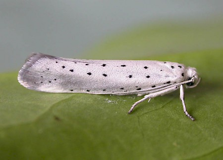 Willow Ermine Yponomeuta rorrella