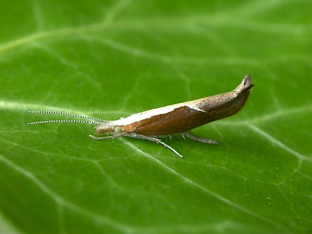 Honeysuckle Moth Ypsolopha dentella