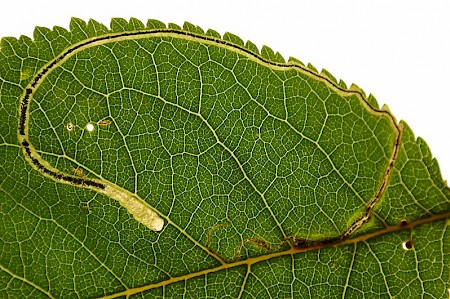 Apple Leaf Miner Lyonetia clerkella