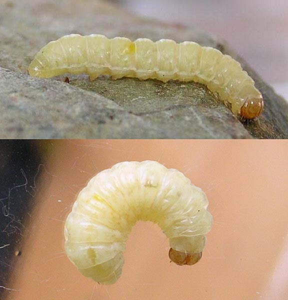 White Larvae Identification – Jerusalem House