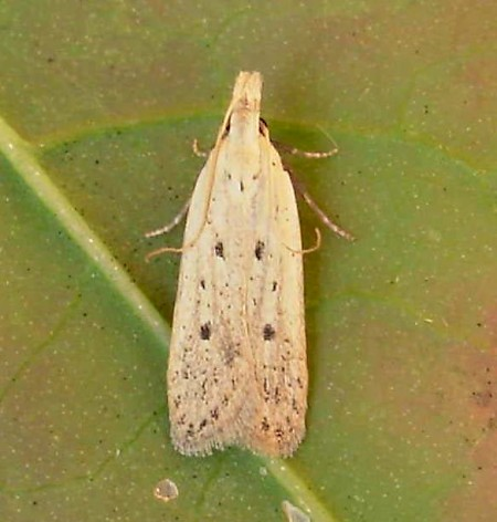 Nothris verbascella