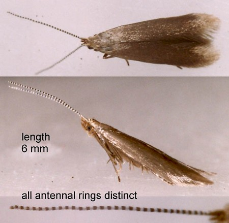 Coleophora gryphipennella
