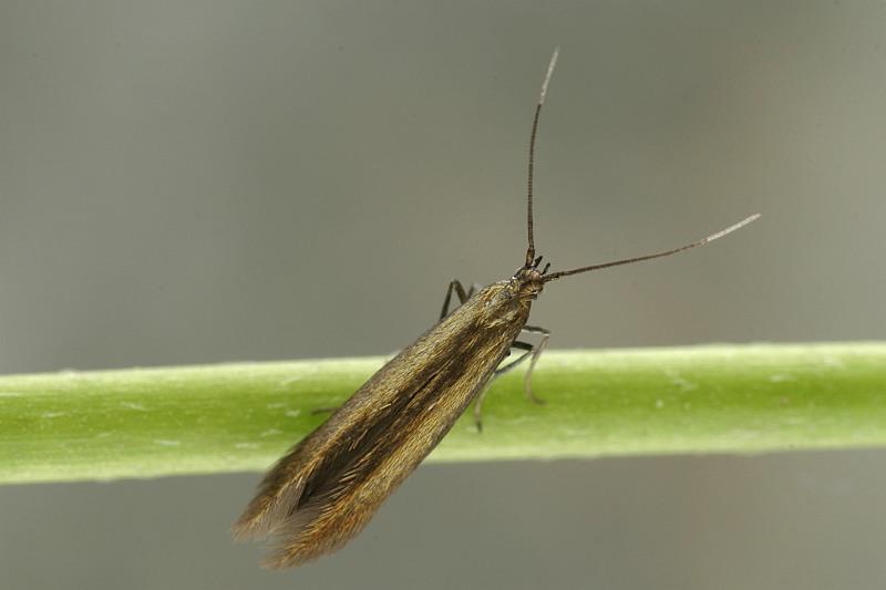 Coleophora frischella - UKMoths